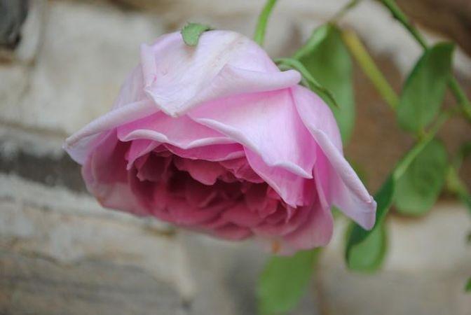 Polly E M Blieschke Pink Granny, FR 10.jpg