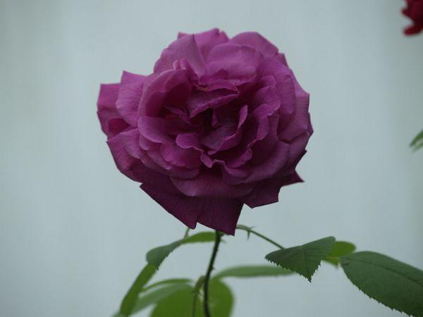Rosa Remontant-General Jacq-2019-06-12- 6127985.jpg