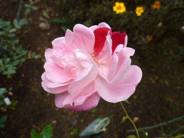 04 Fortunes 5 colored RoseP1090398.jpg