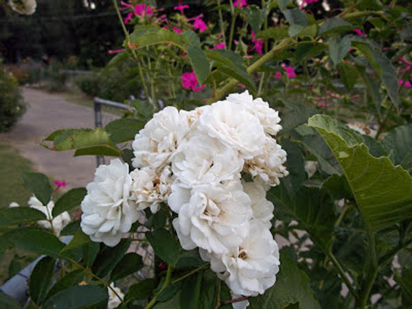 Davy Barr Prosperity bloom cluster (3) 06-16-11-w.jpg