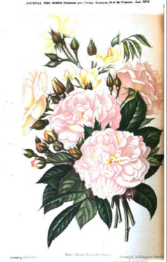 Daniel Lacombe, Journal des Roses 1897 S. 122.PNG