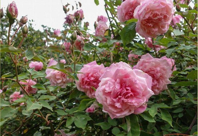 Florence Bowers' Pink Tea 3-w.jpg