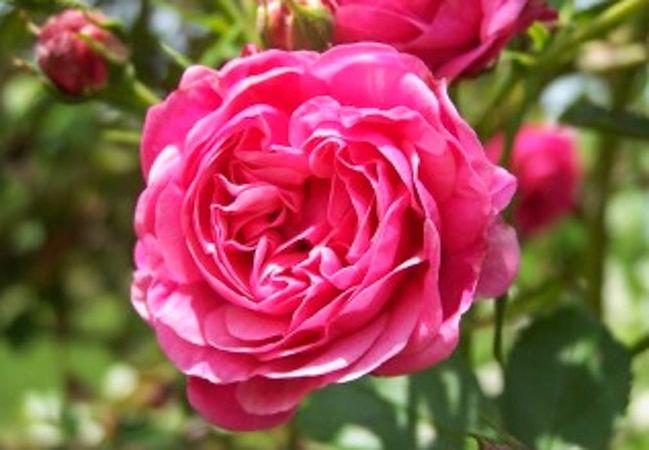 Peter Lambert, Pepinière Roses Loubert-w.jpg