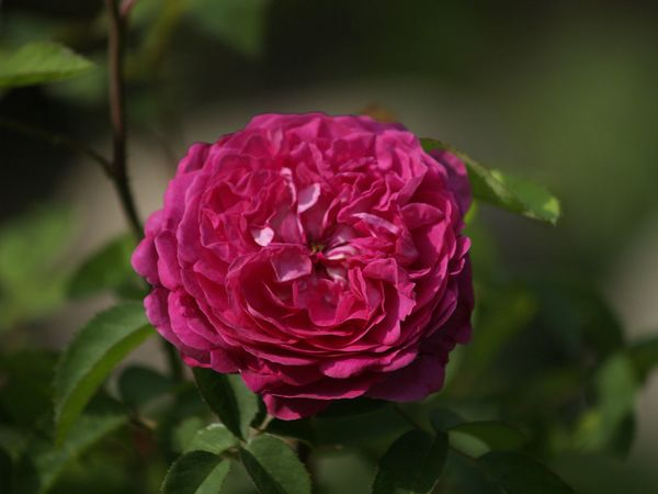 Rosa Remontant-Reine des Violettes-2019-08-04- 8078583.jpg