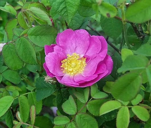 Rosa gallica semi plena filtered-3-g.jpg
