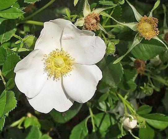 R.virginiana alba (R.carolina alba) filtered-3-g.jpg