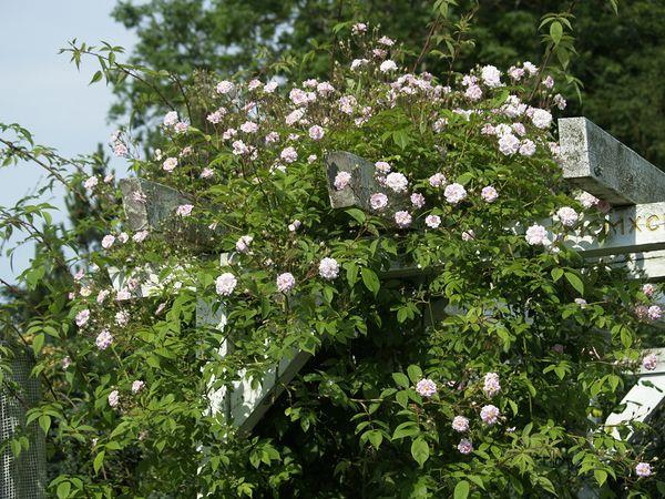 Rosa Pauls Himalayan Musk-2021-06-19- 6199876.jpg