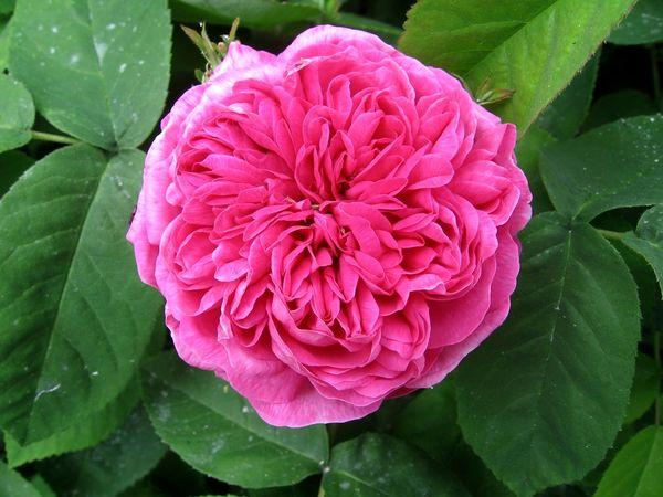 Rose de resht 05.08 (1).jpg