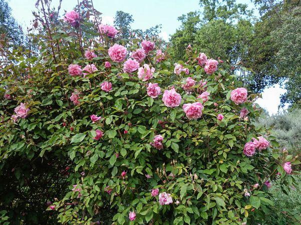 Florence Bowers' Pink Tea 1-w.jpg