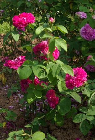 Rose du Roi à fleurs pourpres-3-w.jpg