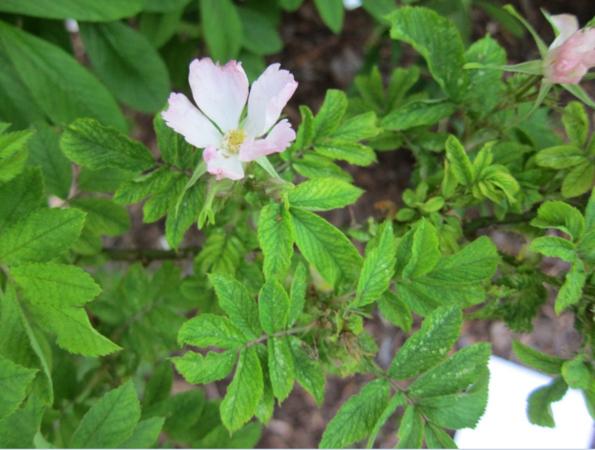 Adiantifolia 2.PNG