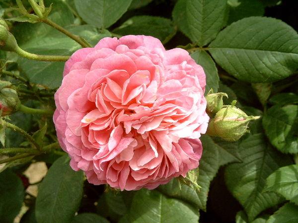 Belle rosine2-ori.jpg