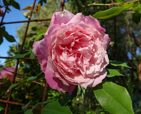 Florence Bowers' Pink Tea 7-w.jpg
