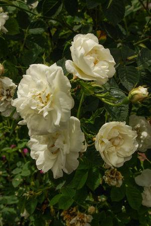 R. x alba L. var. suaveolens, SGH (2)-1-w.jpg