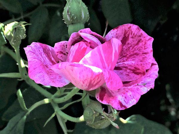 Rosarium 4.jpg