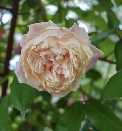 Florence Bowers' Pink Tea 10-w.jpg