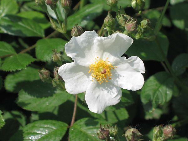 Rosa laevigata, Yangzhou, China 1.jpg