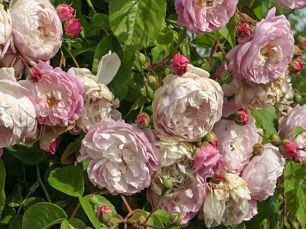 Rosa spectabilis filtered-3-g.jpg