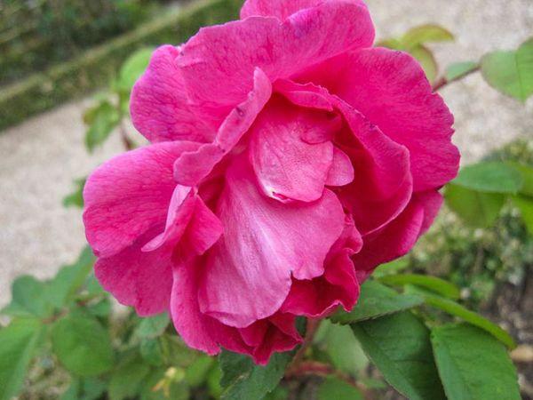 Rose à Parfum de L'Haÿ, Stéphane Barth, L'Hay 2-w.jpg