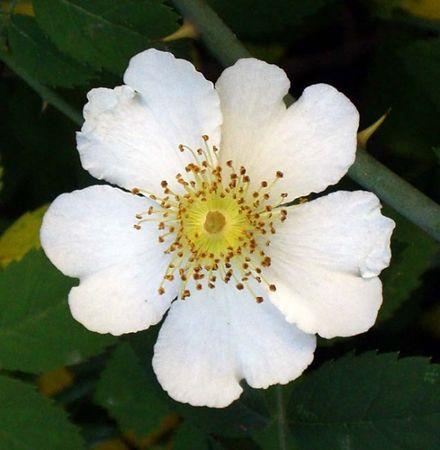 R. arvensis.jpg