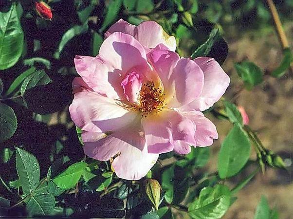 Rosa krause macrantha 2 filtered-3-g.jpg