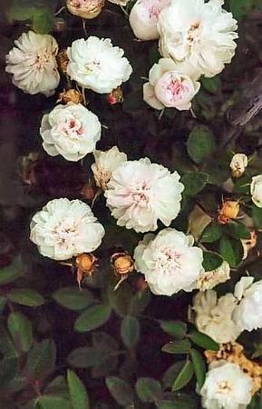 Rose de meaux blanc filtered-3-g.jpg
