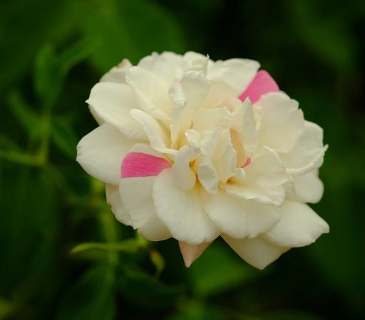 Fortune's Five-Colored Rose 4.jpg
