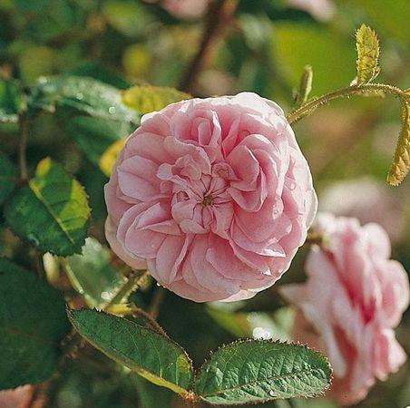 Josephine de Beauharnais, Roses Guillot 2-w.jpg