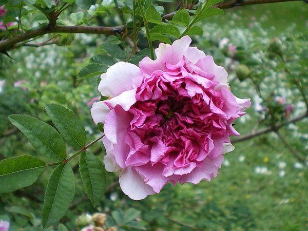 R.roxburghii flore plena, Stéphane Barth, L'Hay 1.jpg