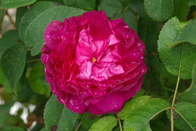 Rose du Roi (Original) (2)-1-w.jpg