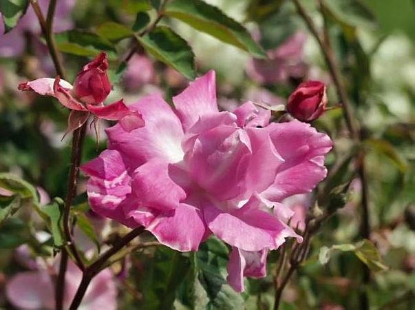 Camelia rose filtered-3-g.jpg