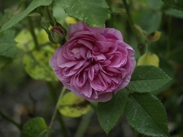 Rosa Bourbonica-Louise Odier-2020-06-04- 6048775.jpg