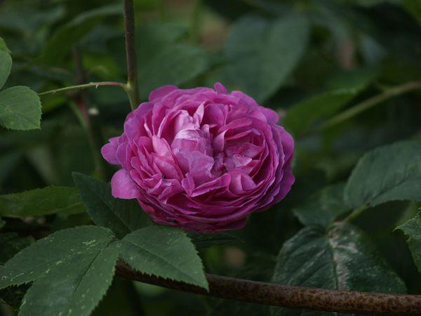 Rosa Remontant-Reine des Violettes-2020-07-01- 7019030.jpg