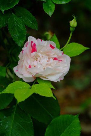 Fortune's Five-Colored Rose 6.jpg