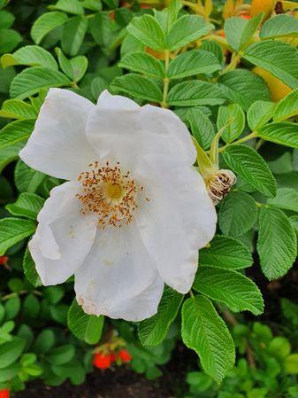 Rosa rugosa Thunb. f. alba, Natalija Sagstad, Lettland 1.jpg