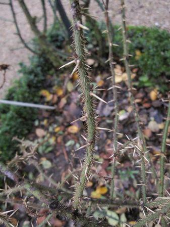 Rosa stellata var. mirifica 7-6-w.jpg