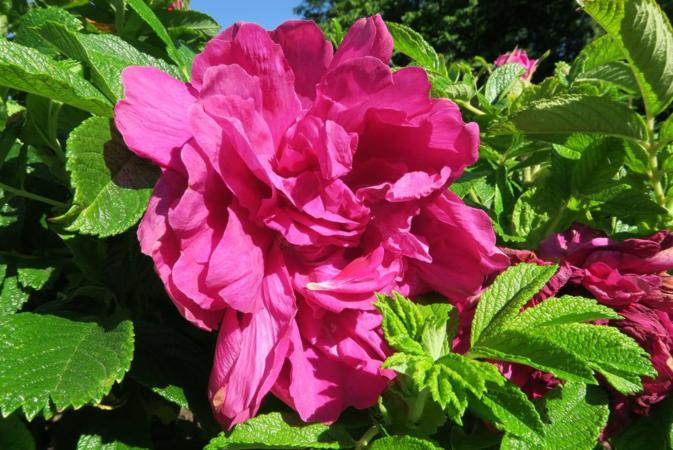 Roseraie de L'Hay, Ostergaard 3.PNG