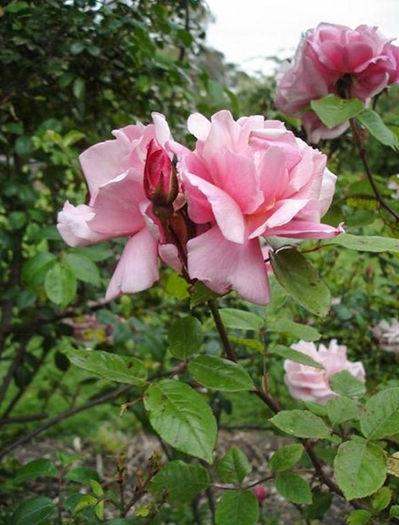 Almerta Orchard Pink 3, Pat Toolan, Barossa Old Rose Repository-w.jpg