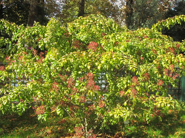 R.moschata floribunda, Stéphane Barth, L'Hay 4-w.jpg