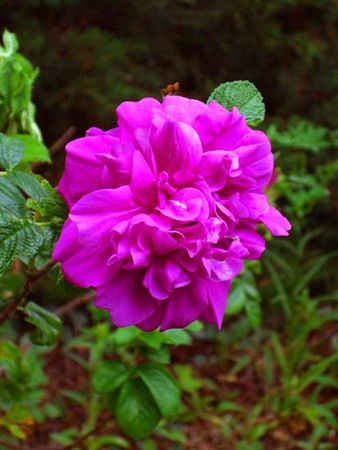 Roseraiedel'Hay.jpg