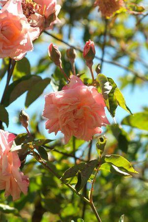 Florence Bowers' Pink Tea, FR 1.jpg