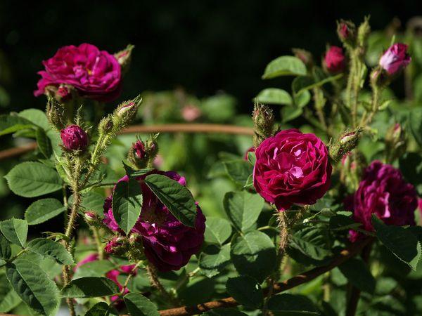 Rosa Centifolia-Henry Martin-2020-06-15- 6158963.jpg