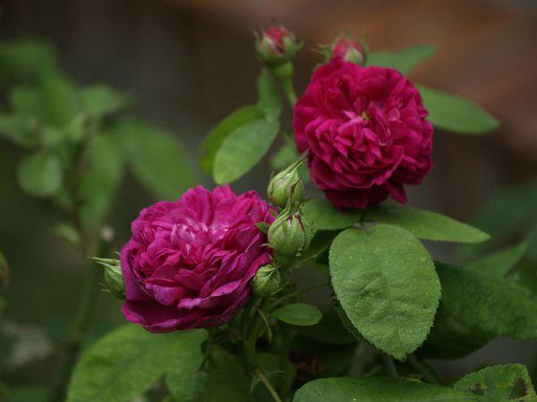 Rosa Remontant-Rose de la Reine-2020-07-18- 7189289.jpg