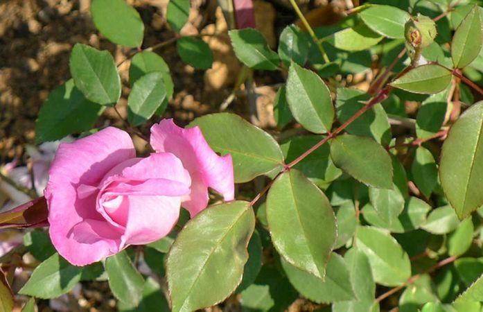 Florence Bowers' Pink Tea 9-w.jpg