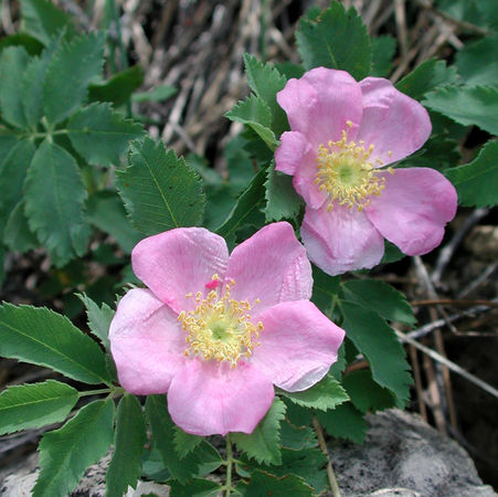 Rosa ultramontana, Max Licher, SEINet 3.jpg