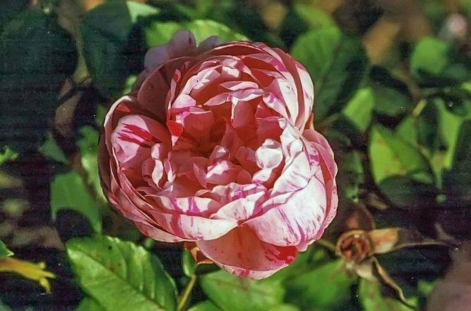 Honorine de Brabant filtered-3-g.jpg