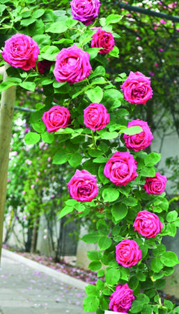 Kostanjevica 61-vrtnica-burbonka-w.jpg