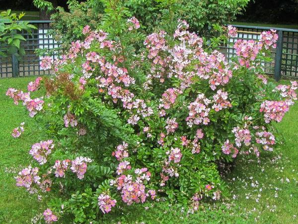 R.multiflora adenochaeta, Stéphane Barth. L'Hay 6-w.jpg