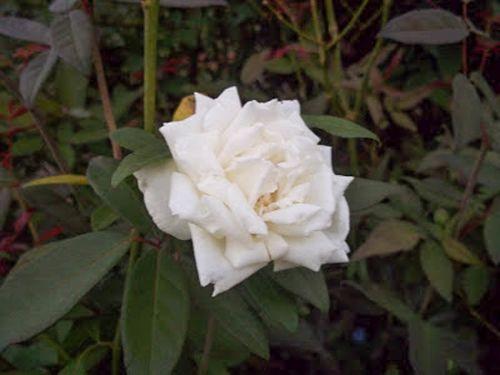 Davy Barr Ducher bloom 09-30-11-w.jpg