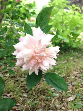 Florence Bowers' Pink Tea, FR 3.jpg